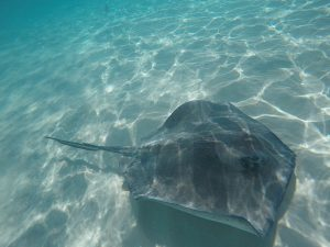 Stingray in ocean